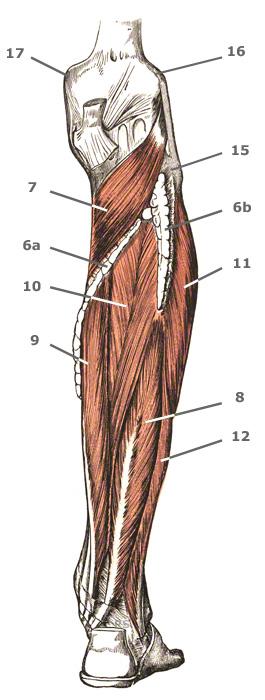 двуглавая икроножная мышца